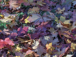 picture of fallen Maple Leaf